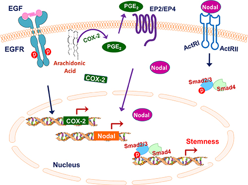 Schematic summarizing the role of the EGFR/COX-2/Nodal signaling axis in regulating IBC stemness.