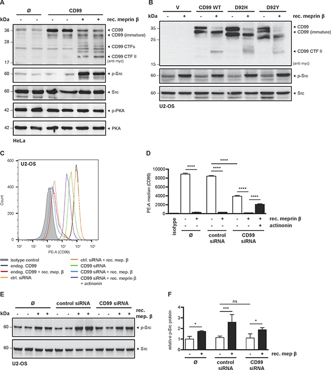 Meprin β induces Src phosphorylation independent of CD99.