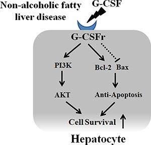 Proposed mechanism of G-CSF in hepatocyte.