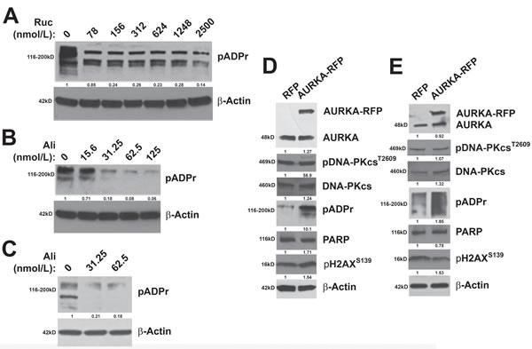 AURKA regulates PARP activity.