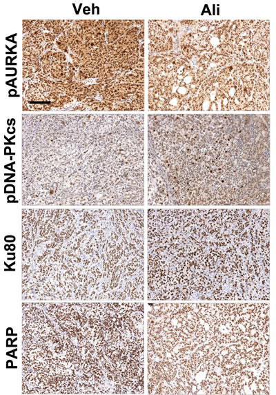 Inhibition of AURKA activity stimulates the NHEJ pathway and decreases PARP levels