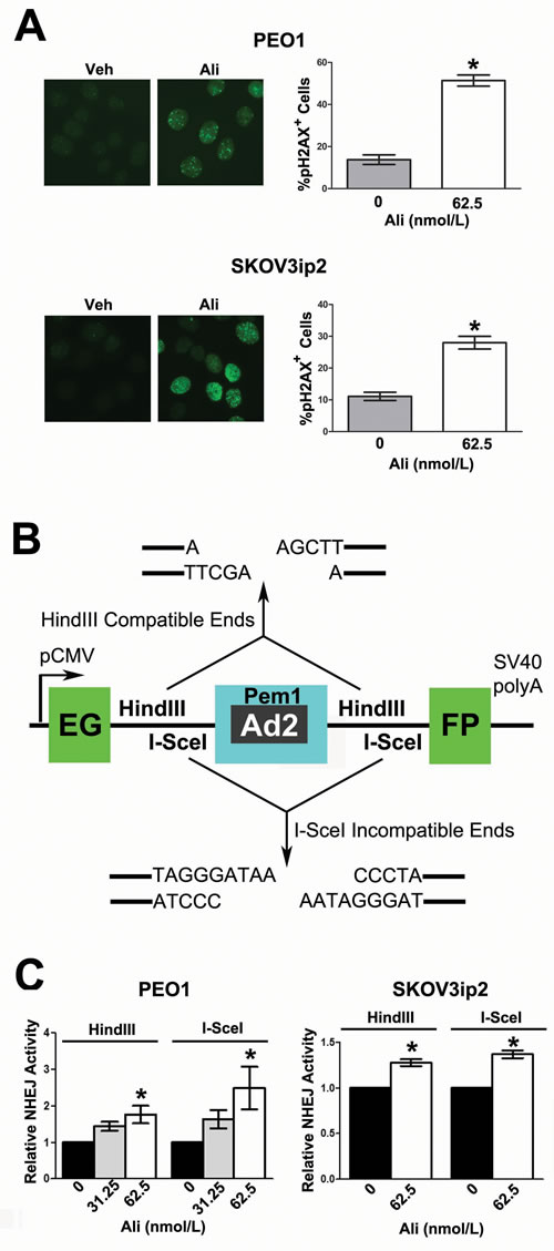 Inhibition of AURKA activity induces the formation of pH2AXS139 foci and stimulates error-prone NHEJ.