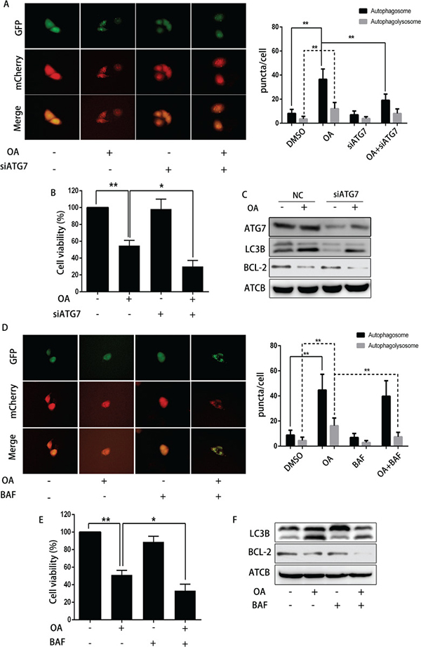 The impact of siRNA ATG7 or bafilomycin A1 on OA-induced anti-cancer effect.