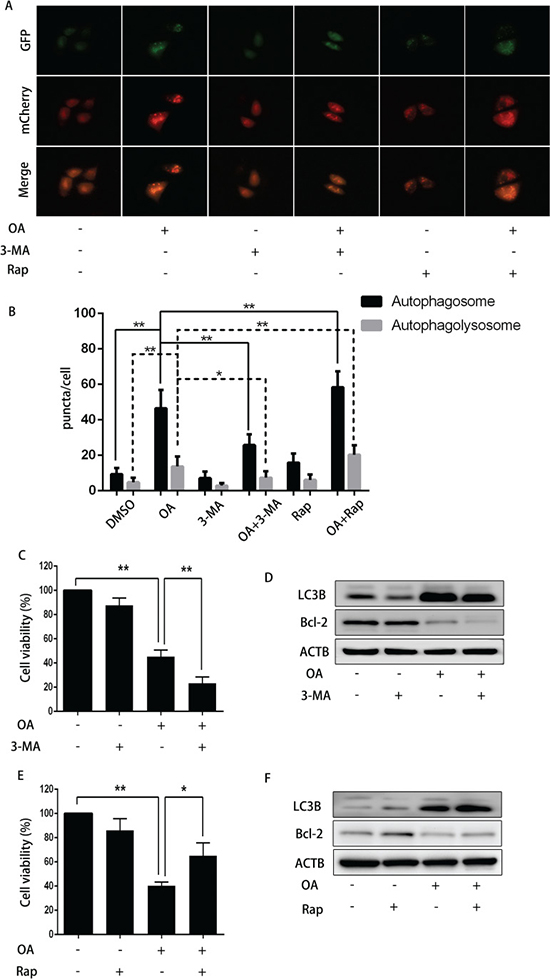 The impact of 3-MA or rapamycin on OA-induced anti-cancer effect.