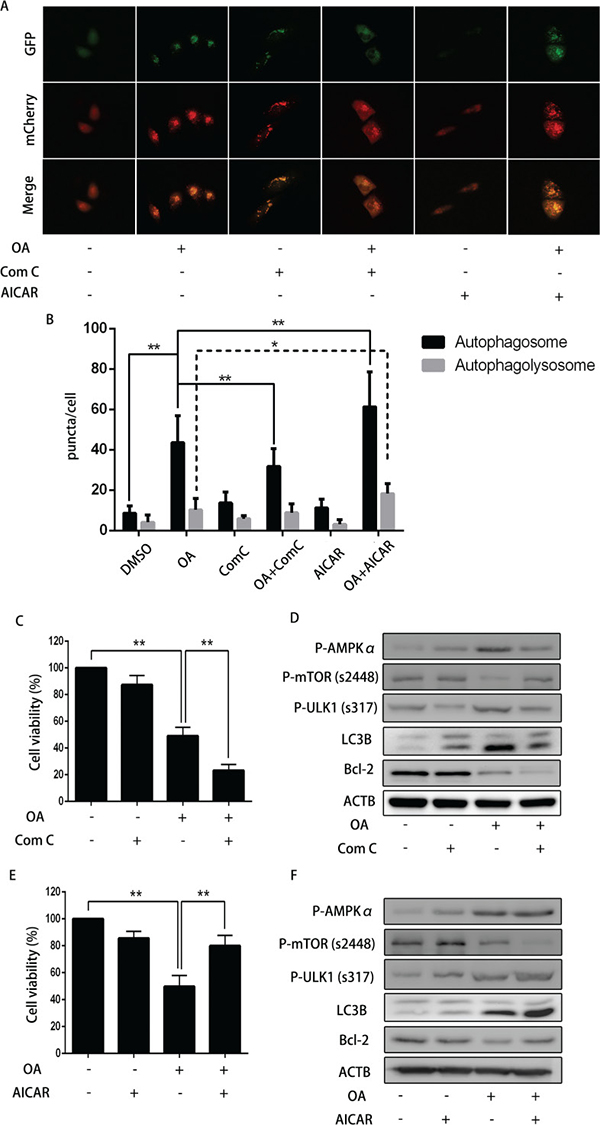 The impact of dorsomorphin or AICAR on OA-induced anti-cancer effect.