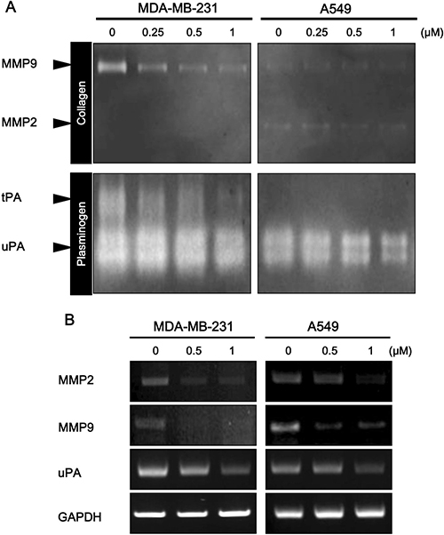 Effect of daurinol on MMP2, MMP9, and uPA expression and activity.