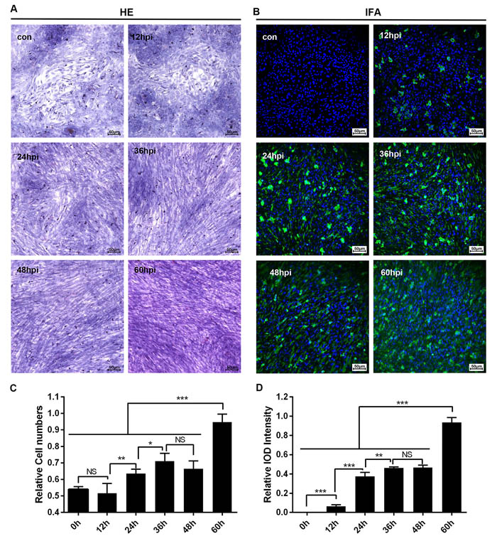 Microscopic lesions and virus replication of duck embryo HSCs infected with DHAV-1 H strain.