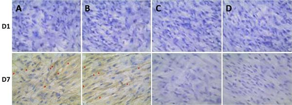 Immunohistochemical analysis of OPN expression co-cultured with BMSCs at one day (D1) and 7 days (D7).