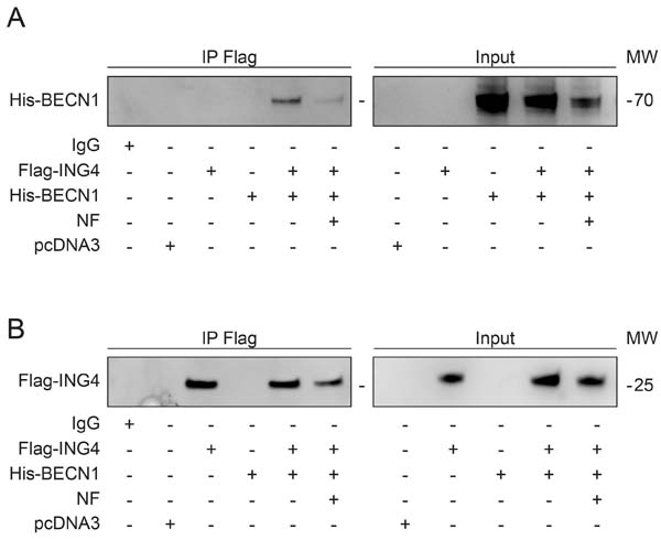 Starvation induces autophagy and reduces the association of BECN1-ING4 in U2OS cells.