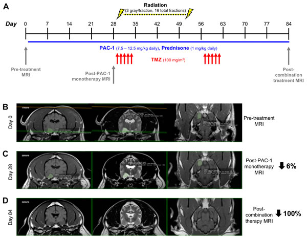 Evaluation of combining oral PAC-1 with TMZ and definitive ionizing radiation therapy in pet dogs with non-resectable gliomas A. Schematic of treatment schedule.