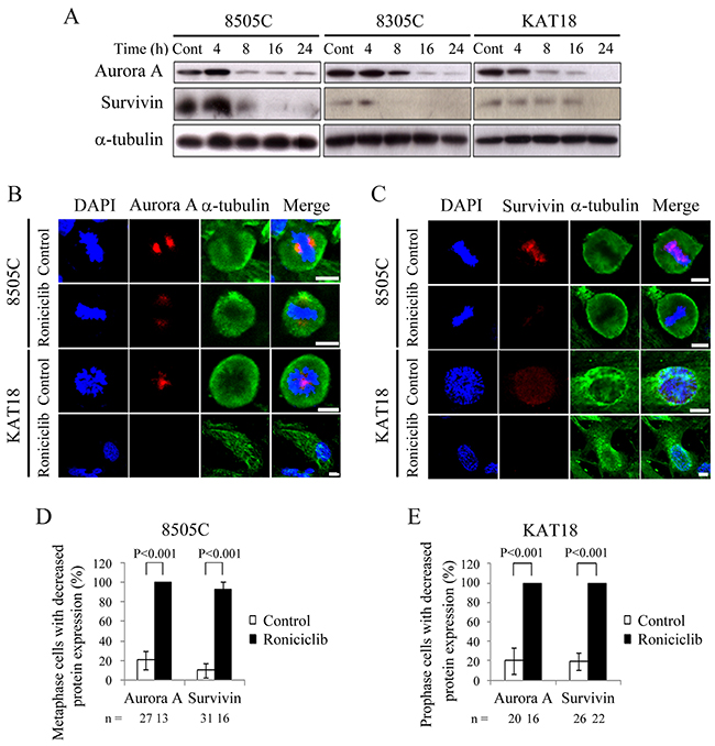 Effects of roniciclib on the expression of Aurora A and survivin in ATC cells.
