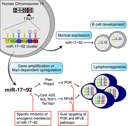 The potential mechanism of MiR-17-92 family in human cancers.