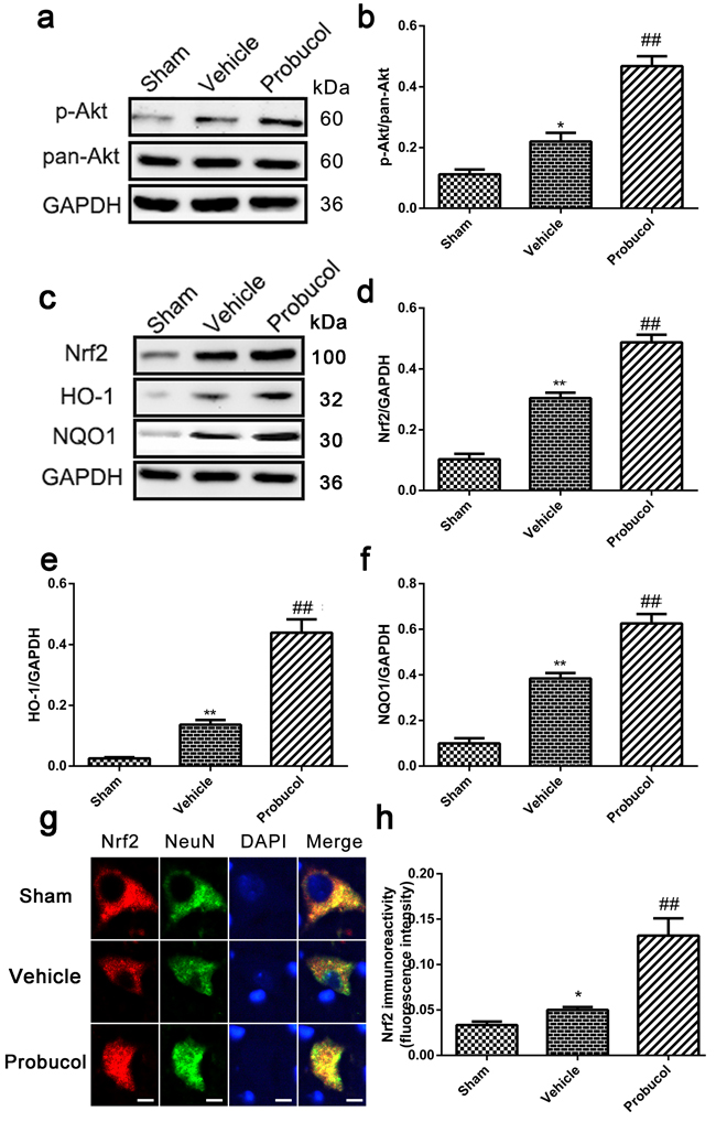 Probucol activated the Akt/Nrf2/ARE signaling pathways after SCI in rat.