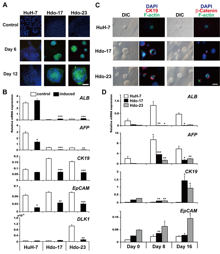 Bidirectional differentiation potential of Hdo cells.