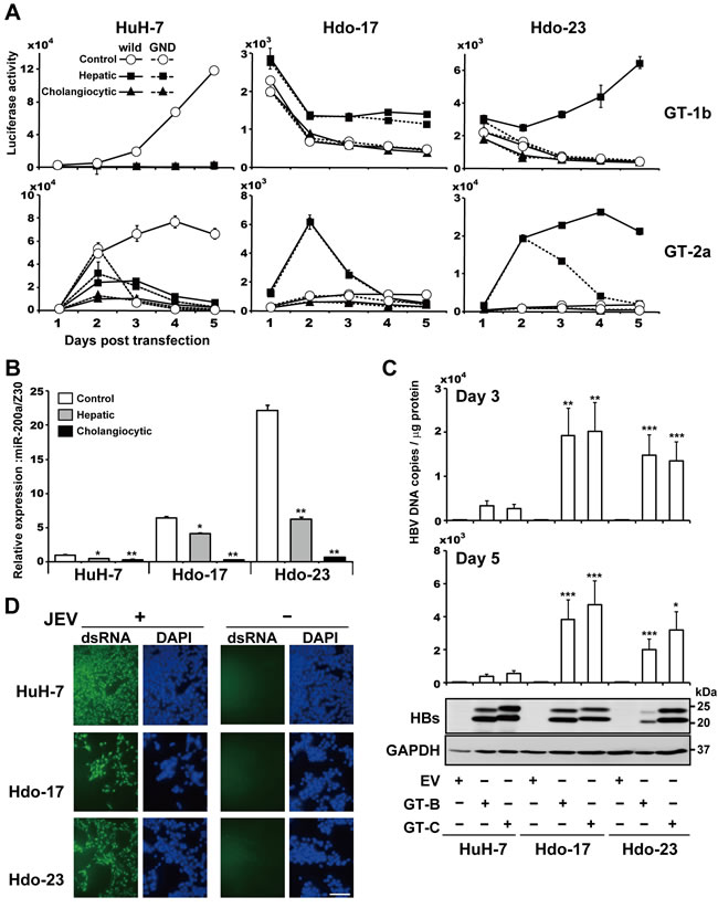 Susceptibility of directed differentiated cells from Hdo cells to HCV, HBV, and JEV replication.