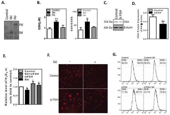 Skl regulates cellular anti-oxidant capacity.