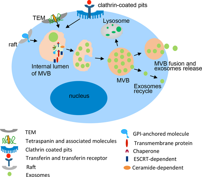 Biogenesis and composition of exosomes.