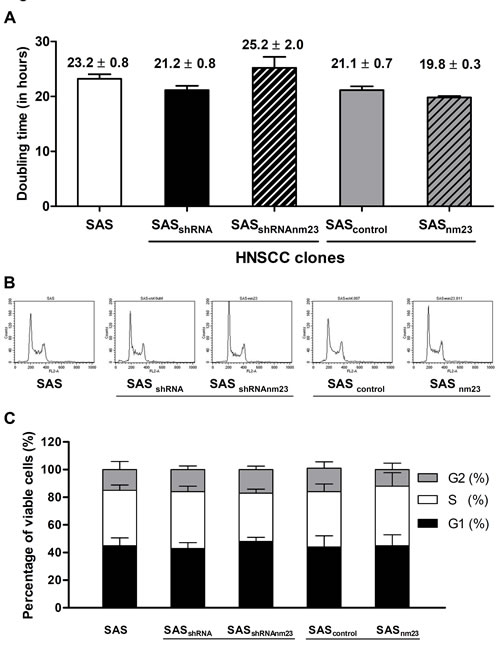 Knockdown and overexpression of NM23-H1 did not affect cellular proliferation of SAS cells.