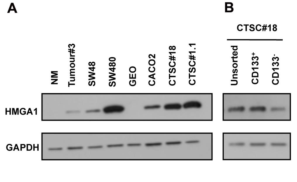 HMGA1 expression in CTSCs.