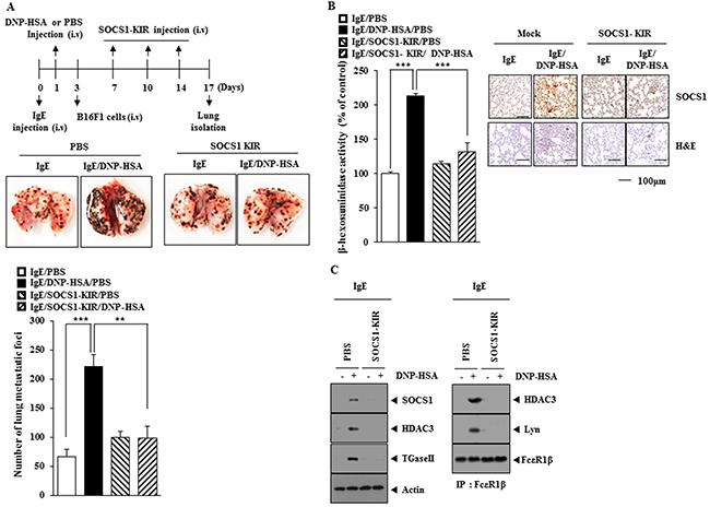 Oncotarget | miR-122-SOCS1-JAK2 axis regulates allergic inflammation