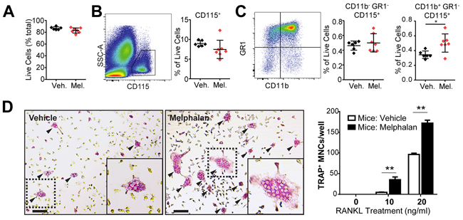 Melphalan treatment in vivo results in altered osteoclast progenitor numbers in the femoral bone marrow.