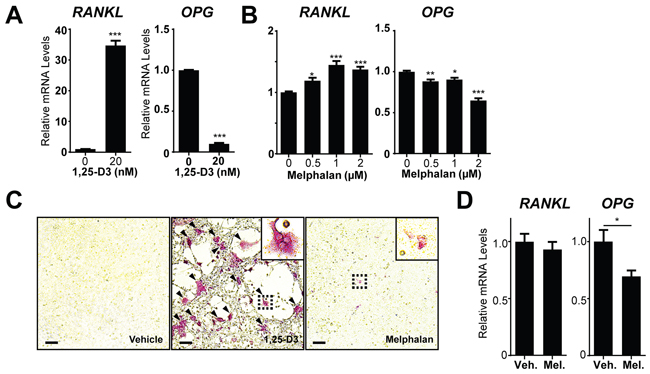 Melphalan increases RANKL expression in primary bone marrow stromal cells (BMSCs) in vitro.