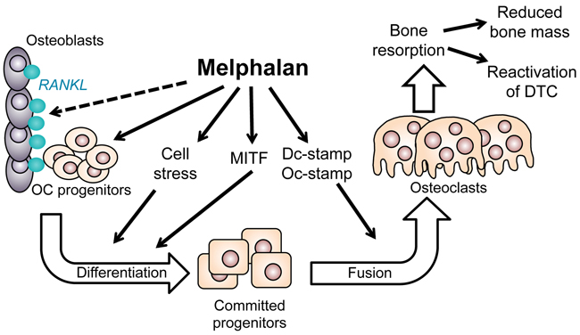 Diagram summarizing the positive effects of melphalan on osteoclast formation in this study.