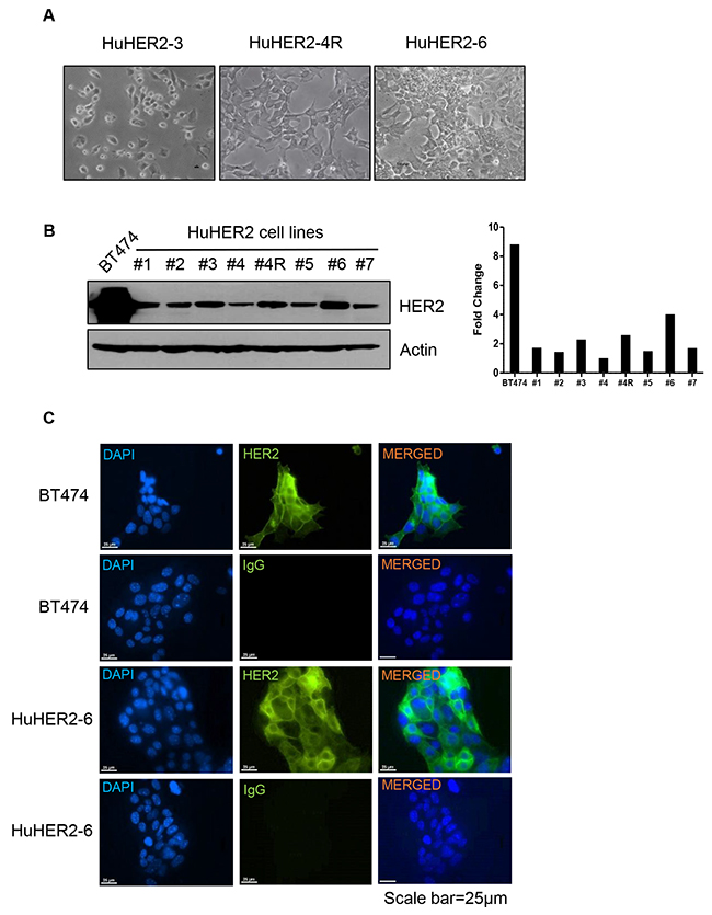 Characterization of HuHER2 cell lines overexpressing human HER2.