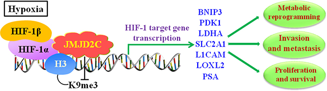 JMJD2C regulates the transcription of HIF-1 target gene in hypoxic environment, and involves in cancer progression including proliferation, invasion, metastasis, and metabolic reprogramming in tumors.