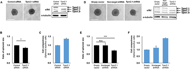 Downregulation of Tpm2.1 induces more compact spheroids.