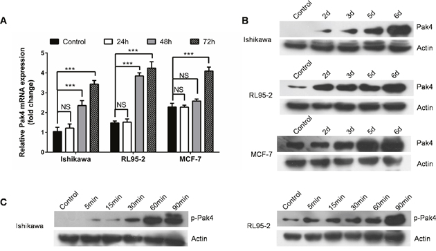 Estrogen increases Pak4 expression and activation.