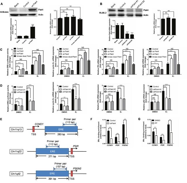 Pak4 enhances ERα transcription and ERα target gene expression.