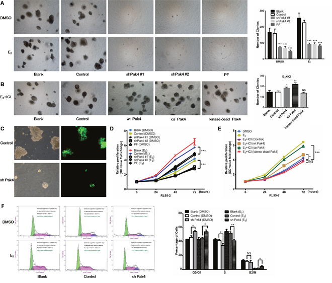 Pak4 inhibition suppresses E2-induced cell proliferation and cell cycle progression.
