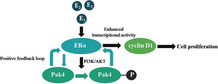 Illustration of a positive feedback loop between Pak4 and ERα signaling in endometrial cancer.