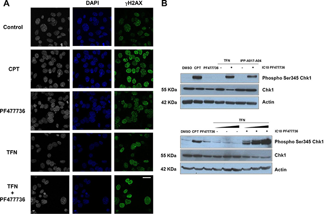 The combination of teriflunomide and PF477736 increases the amount of DNA damage in transformed MEFs.