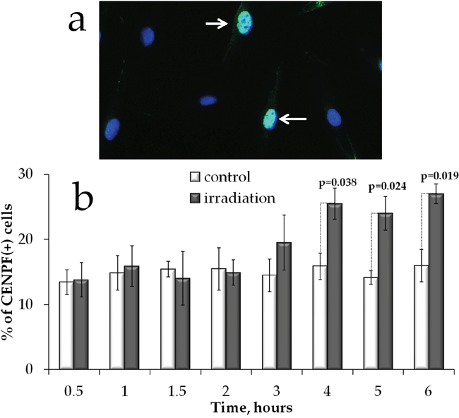 S/G2 cell cycle phases changes in MSCs exposed to prolonged irradiation.