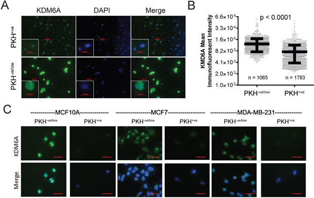 Stem cell-enriched subpopulations of mammary cell lines express lower KDM6A levels compared to non-stem counterparts.