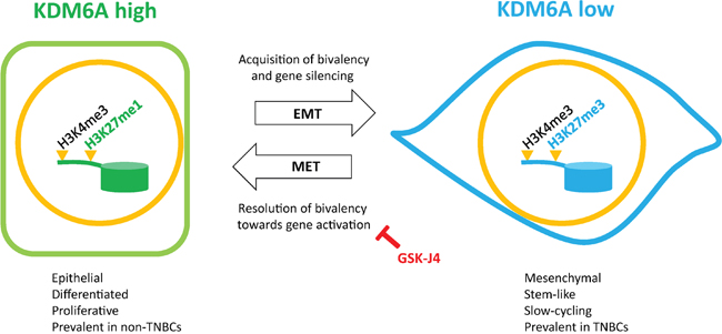Schematic representation of the regulation of bivalency by KDM6A during EMT/MET.