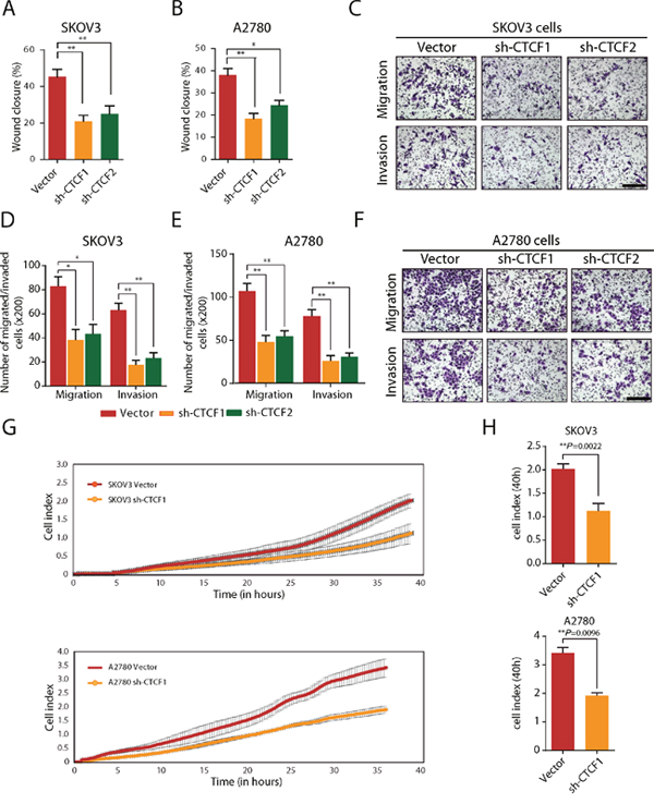 CTCF knockdown inhibits the migration and invasion of ovarian cancer cells in vitro.