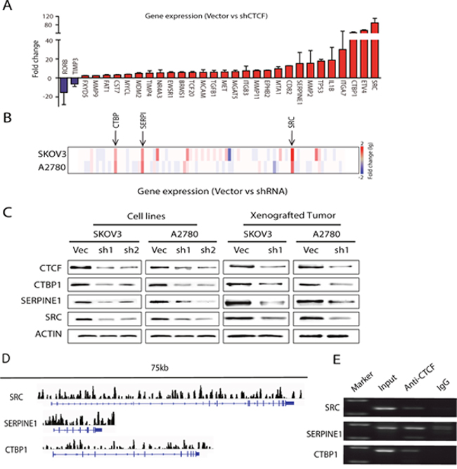 CTCF regulates the majority of the analyzed metastasis-associated genes in ovarian cancer.