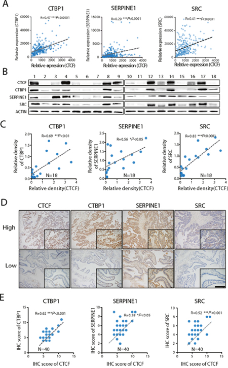CTCF expression is directly correlated with CTBP1, SERPINE1 and SRC expression.