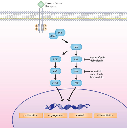Canonical MAP kinase signaling mediates critical cellular processes implicated in proliferation, differentiation, survival, and angiogenesis.