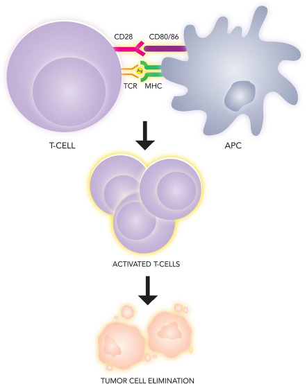 Immunologic recognition and elimination of tumors.