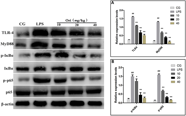 Effects of Ori onTLR4-mediated activation of the NF-κB signalling pathway in ALI.