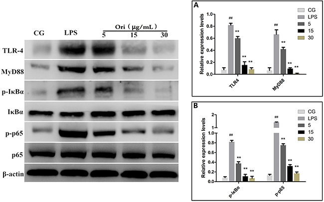 Effects of Ori on TLR4-mediated activation of the NF-κB signalling pathway in RAW 264.7 cells.