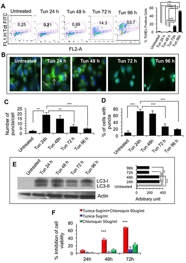 Sustained ER stress induced cell death in PC-3 cells.