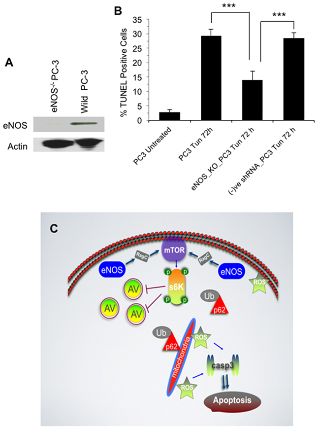eNOS plays a role in DNA fragmentation or late stage apoptosis.