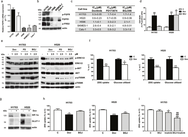 Effects of FGFR1 inhibition in FGFR1-amplified H1703 and H520 cells in normal growth conditions.