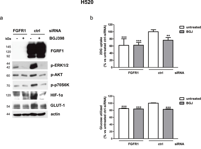 Effects of FGFR1 silencing on intracellular pathways and glucose utilization in H520 cells.
