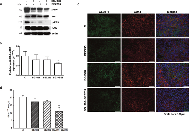 Effects of NVP-BGJ398 and NVP-BEZ235 on src/FAK signaling and GLUT-1 expression in LENTI-4 tumor xenografts.